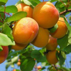 абрикос монастырский