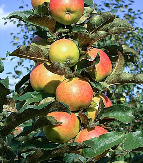 оставляйте большие яблоня колоновидная останкино фото вам