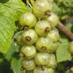 Смородина зеленая Золото инков