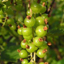 Смородина зеленая (зеленоплодная)
