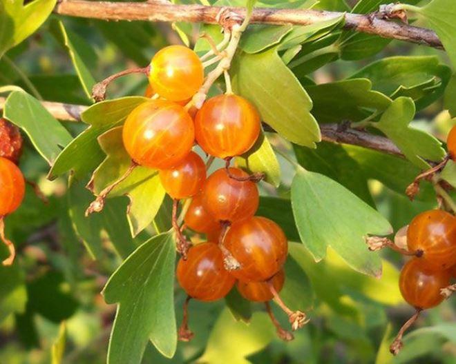 Смородина золотистая Золотая гроздь