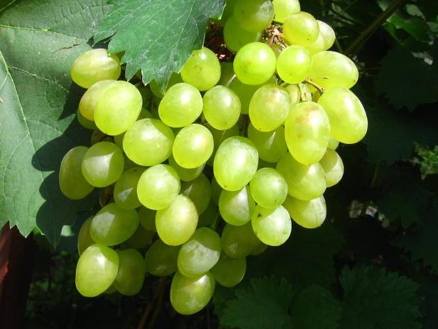 Виноград Алешкин Алешенька
