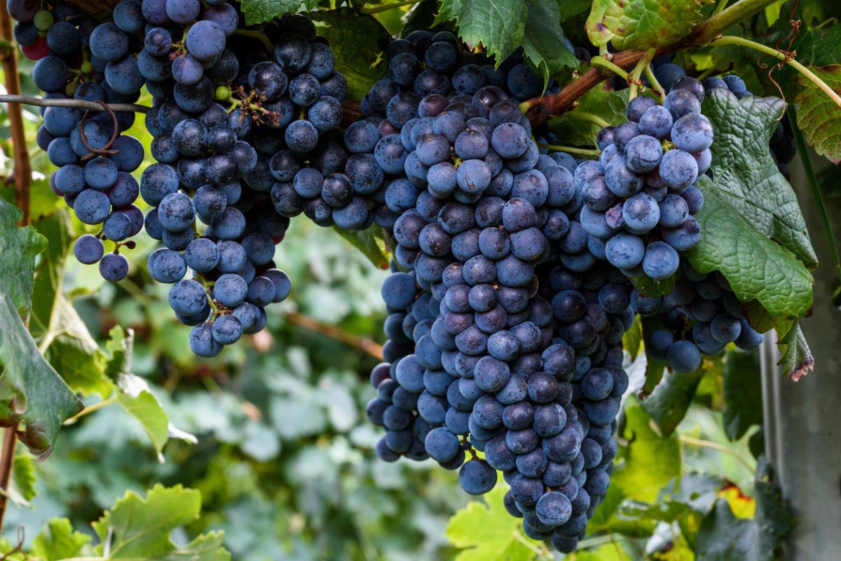 Виноград Изабелла саженцы