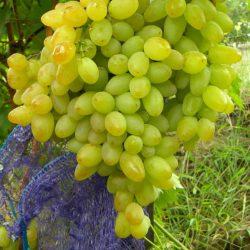 Виноград Кишмиш Арсеньевский саженцы