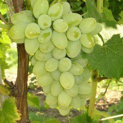 Виноград Кишмиш Нептун саженцы