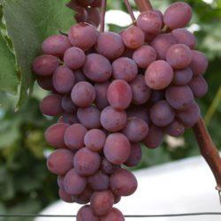 Виноград Кишмиш Запорожский