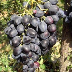 Виноград Надежда Азос саженцы