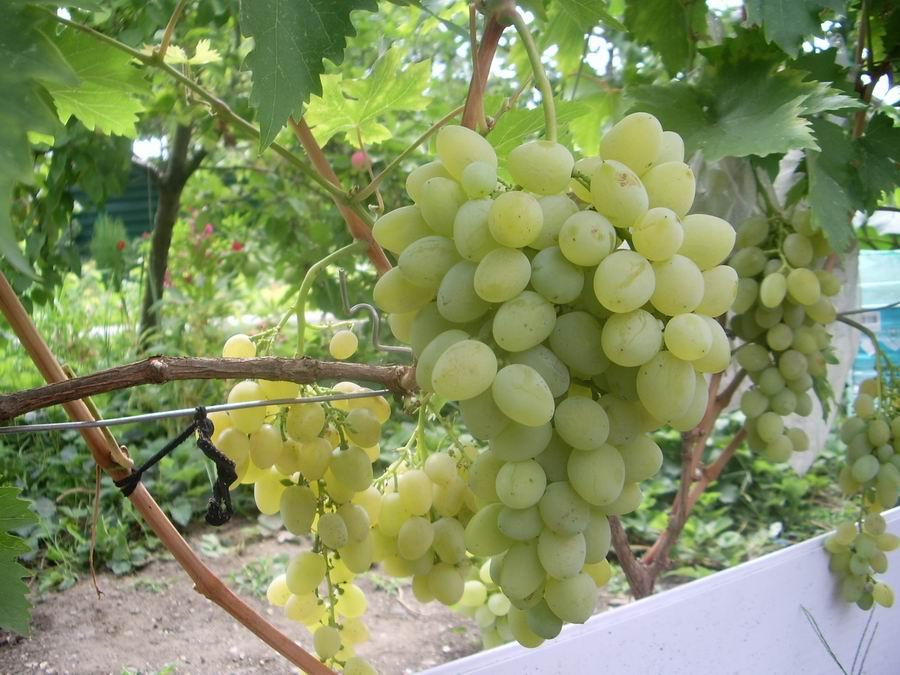Виноград Восторг белый саженцы