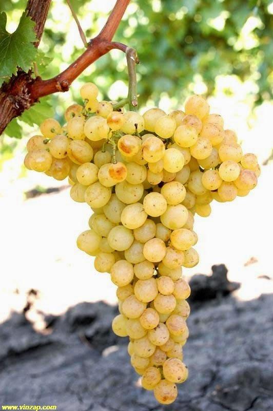 Виноград кишмиш Белое пламя саженцы