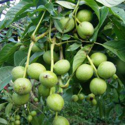 Грецкий орех Карлик саженцы