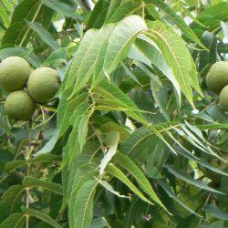 Грецкий орех Скороплодный саженцы
