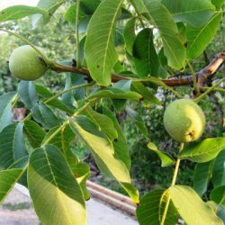Грецкий орех бахчисарайский саженцы