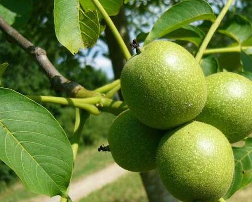 Грецкий орех сетчатый саженцы