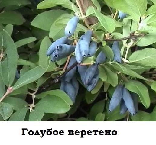 Жимолость Голубое веретено саженцы