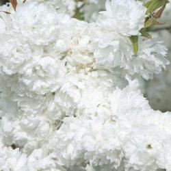 Миндаль декоративный Белый парус