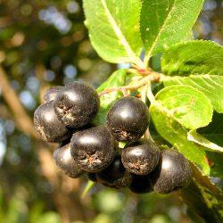 Рябина черноплодная (Арония, Черноплодка)