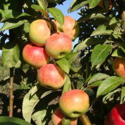 Яблоня колоновидная Луч саженцы