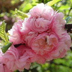 Миндаль декоративный Розовый фламинго саженцы