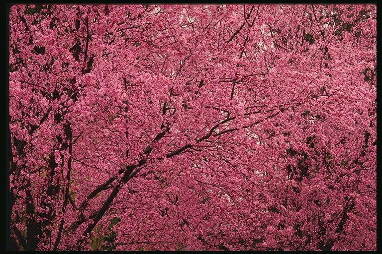 миндаль декоративный Розовый туман купить