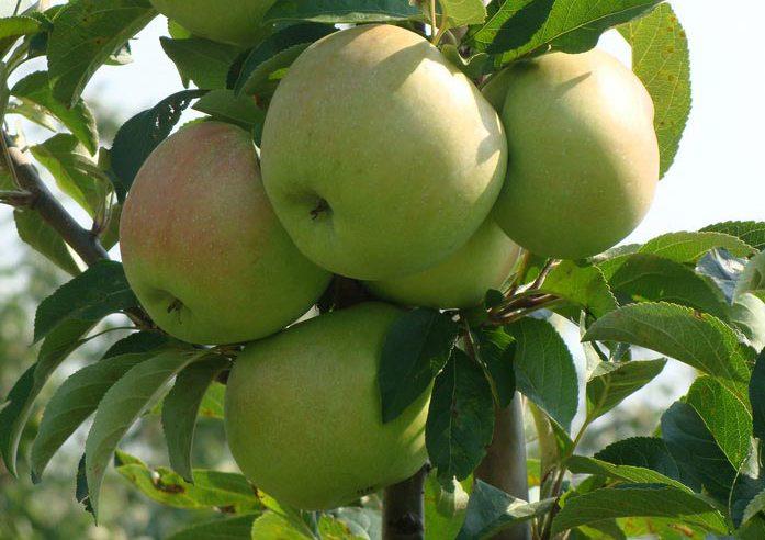 яблоня колонновидная болеро саженцы