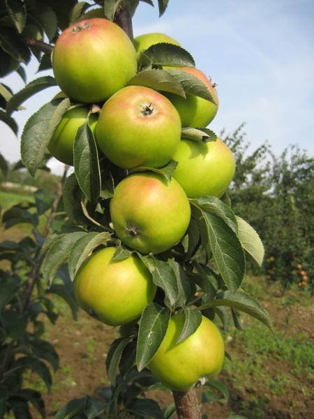яблоня колоновидная лукомор