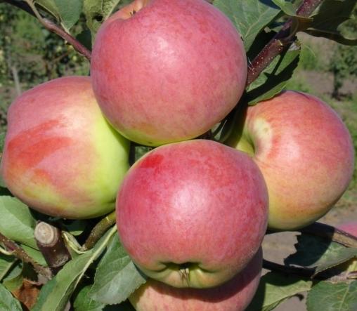 яблоня осенняя радость саженцы