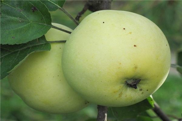 яблоня россиянка саженцы