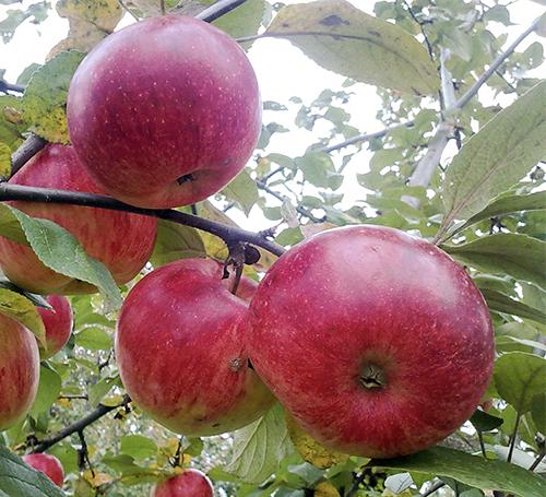 яблоня юный натуралист саженцы