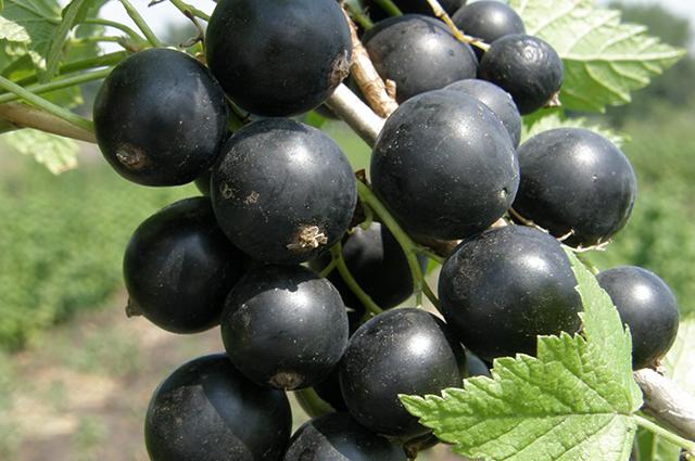 смородина черная перун саженцы