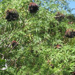 Бузина черная Laciniata саженцы