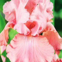 Ирис Блашинг Пинк (Blushing Pink)