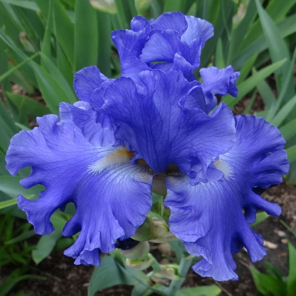 Ирис Якина Блю (Yaquina Blue)