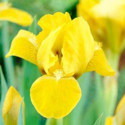 Ирис карликовый Брасси (Iris pumila Brassie)