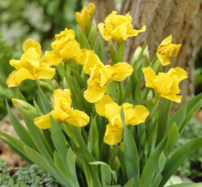 Ирис карликовый Брасси (Iris pumila Brassie) саженцы