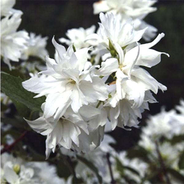 Чубушник жасмин Миннесота Сноуфлейк (Philadelphus Minnesota Snowflake) саженцы