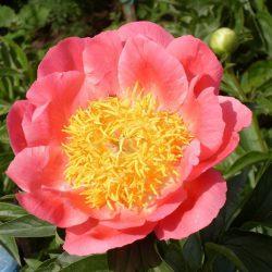 Пион травянистый Корал н Голд (Coral n Gold)
