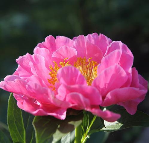 Пион травянистый Роял роуз саженцы