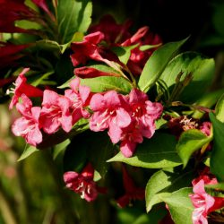 Вейгела Бристоль Руби (Weigela Bristol Ruby)