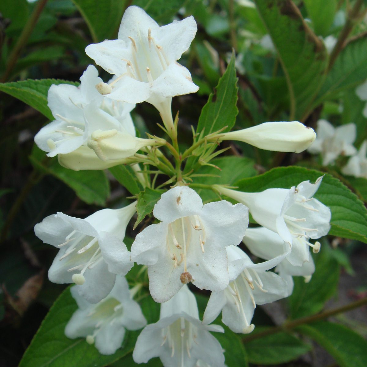 Вейгела Кандида (Weigela florida Candida)