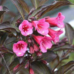 Вейгела цветущая Виктория (Weigela Victoria)