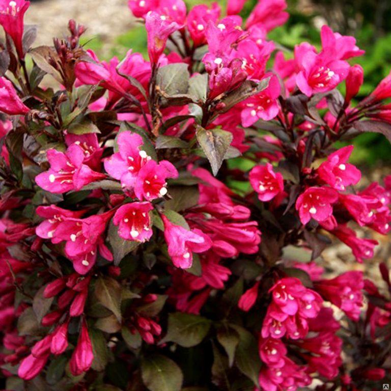 Вейгела цветущая Виктория (Weigela Victoria) саженцы