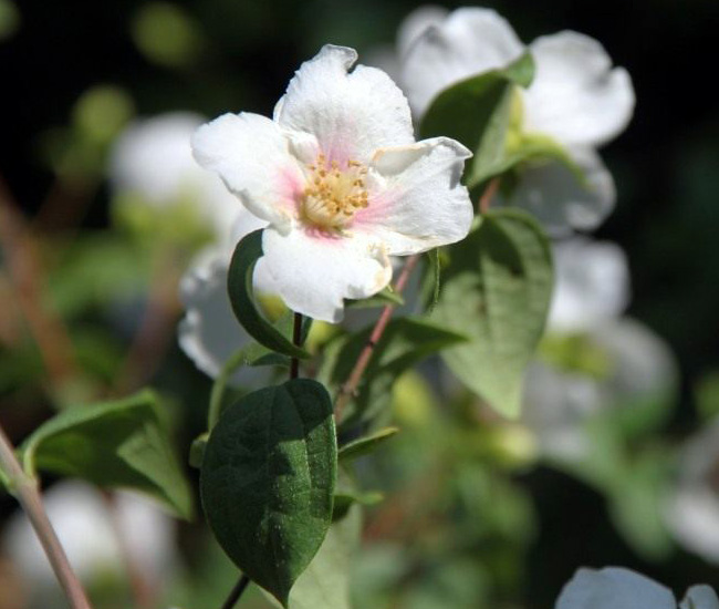 чубушник жасмин Сибилла (Sybille)