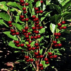 колоновидная вишня ашинский гибрид саженцы