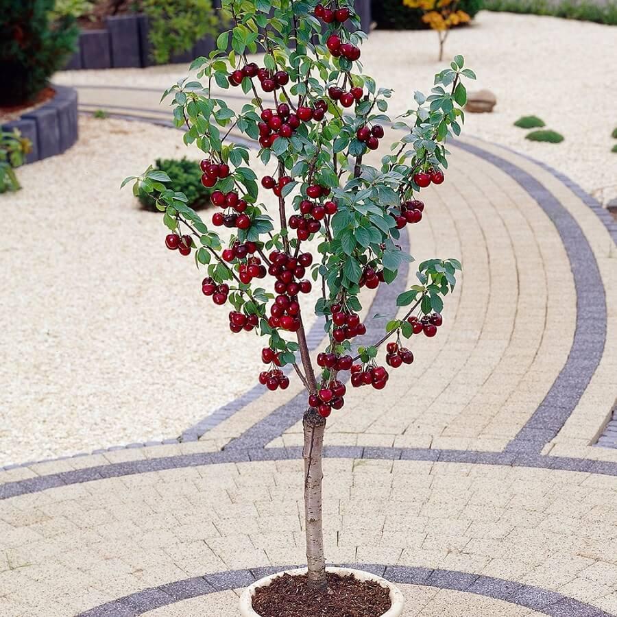 колоновидная вишня ашинский гибрид