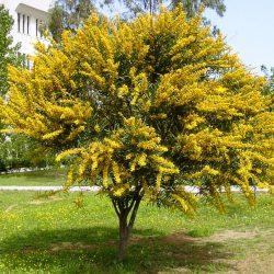 Акация желтая (Карагана древовидная, Caragana)