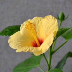 Гибискус Киото желтый (Hibiscus Kyoto Yellow)
