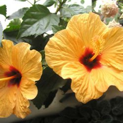 Гибискус Киото желтый (Hibiscus Kyoto Yellow) саженцы