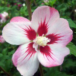 Гибискус сирийский Хамабо (Hibiscus syriacus Hamabo)