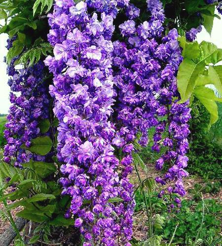 Глициния Виолацеа Плена (Violacea Plena) купить