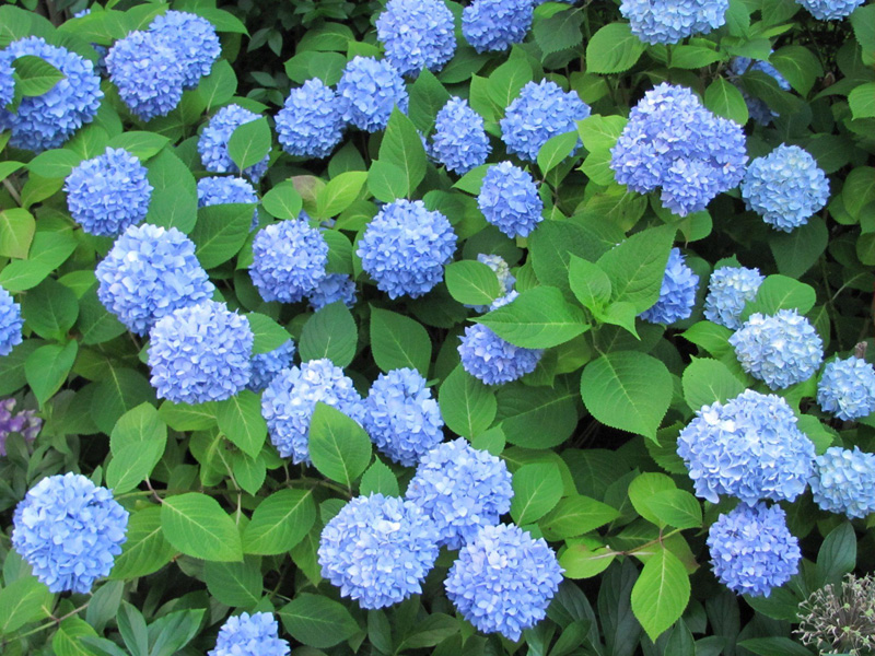 Гортензия крупнолистная Никко Блю (Nikko Blue) купить